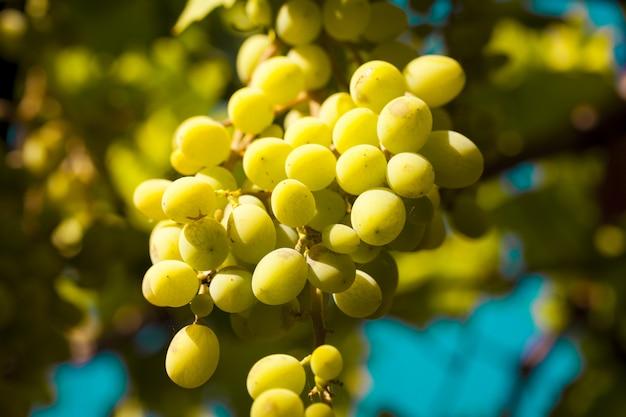 Zbliżenie strzał świezi winogrona w ogródzie