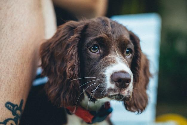 Zbliżenie strzał uroczego brązowego psa bretońskiego na niewyraźne tło