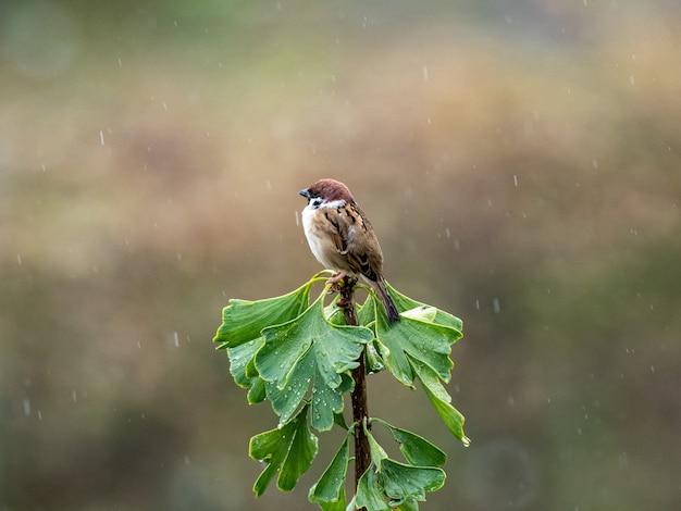 Zbliżenie strzał wróbelka zwyczajnego na drzewie miłorzębu w deszczu