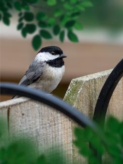 Zbliżenie strzał z czarnogłowej chickadee na drewnianym ogrodzeniu