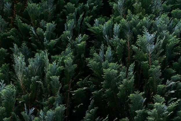 Zbliżenie strzał z gałęzi drzewa cyprysowego