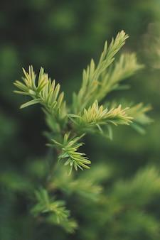 Zbliżenie strzał z liści drzewa cedrowego japońskiego