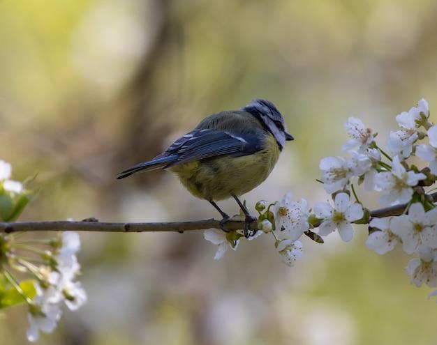 Zbliżenie strzał z modraszka zwyczajna siedząca na gałęzi drzewa z kwiatami wiśni