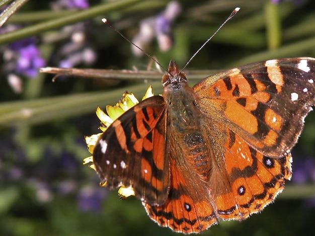Zbliżenie strzał z motyla painted lady na kwiatku