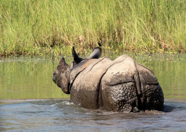 Zbliżenie strzał z nosorożca w wodzie