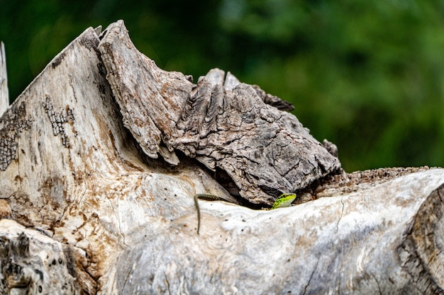 Zbliżenie strzał z zielonej jaszczurki na kamieniu
