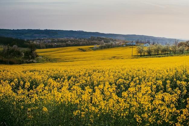 Zbliżenie strzał z żółtego pola kwiatowego