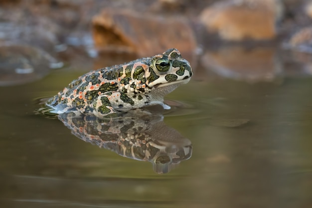 Zbliżenie strzał żaby w jeziorze