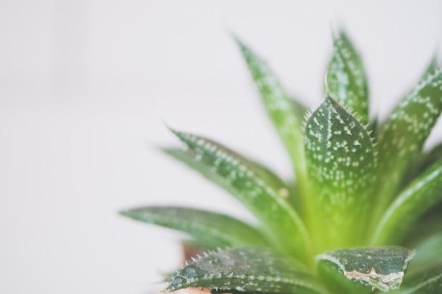 Zbliżenie strzał zielona aloesu roślina w ceramicznym brown garnku