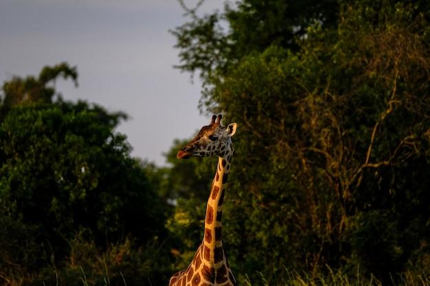 Zbliżenie strzał żyrafa blisko drzew i zamazanego naturalnego tła na słonecznym dniu