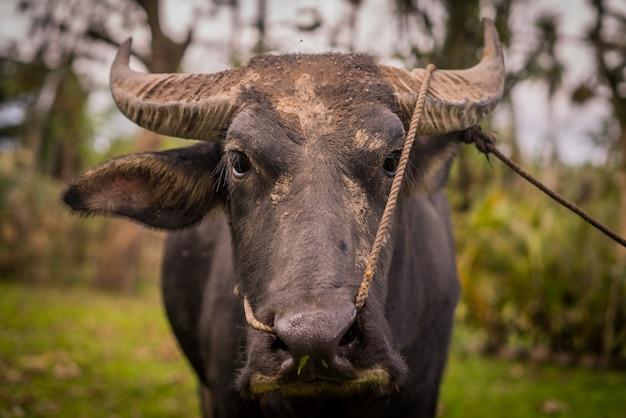 Zbliżenie strzelający czarny wodny bizon