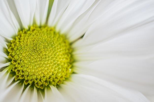 Zbliżenie strzelający piękny kwitnący rumianek