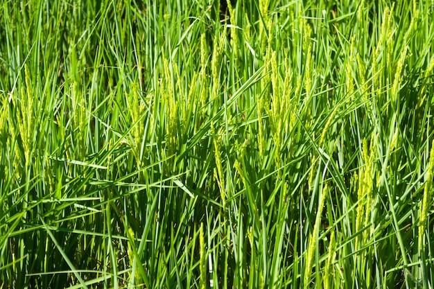 Zbliżenie strzelający ryżowi pola