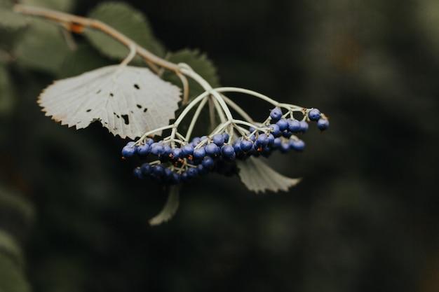 Zbliżenie strzelał czarne jagody na gałąź drzewo w lesie na zamazanym tle