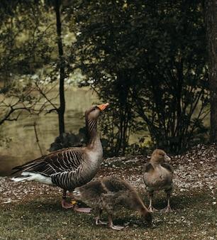 Zbliżenie strzelał kaczka z swój kaczątkami blisko rzeki