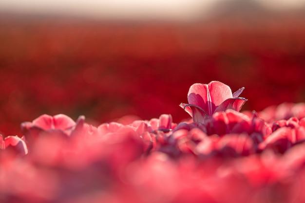 Zbliżenie strzelał piękny czerwony tulipan w tulipanowym polu - pojęcie stać out