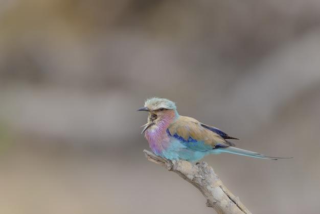Zbliżenie strzelał rolkowego ptaka ćwierkanie na gałąź