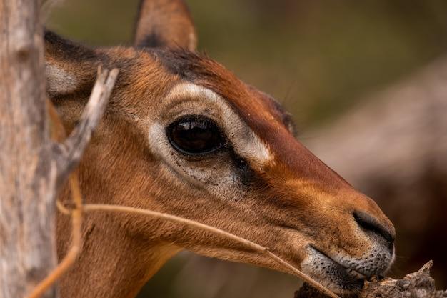 Zbliżenie strzelał sarna rogacz chwytający w kenja, nairobi, samburu