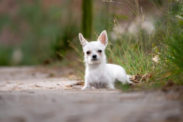 Zbliżenie strzelał śliczny biały chihuahua obsiadanie na ziemi