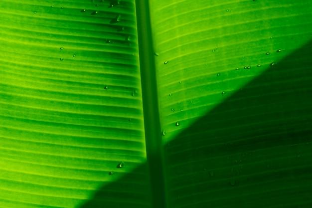 Zbliżenie świeży bananowy liść z wody kroplą