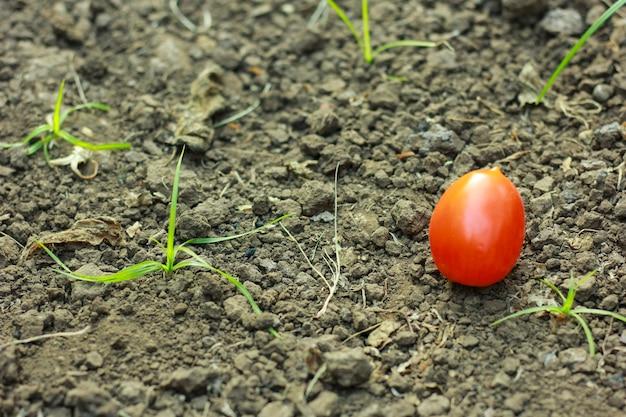 Zbliżenie świeżych, dojrzałych pomidorów na tle gleby