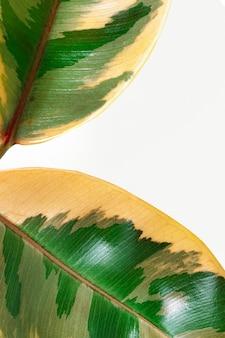 Zbliżenie świeżych indyjskich liści gumy