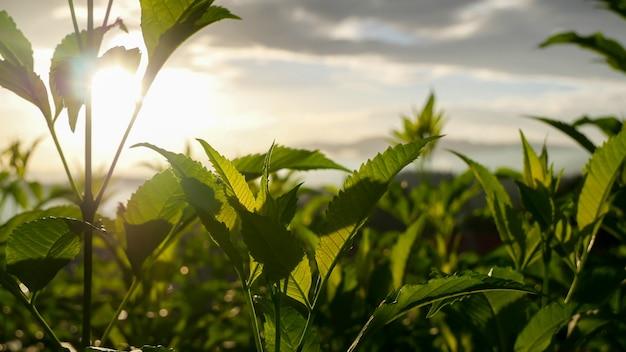 Zbliżenie świeżych zielonych roślin ze światłem słonecznym wieczorem