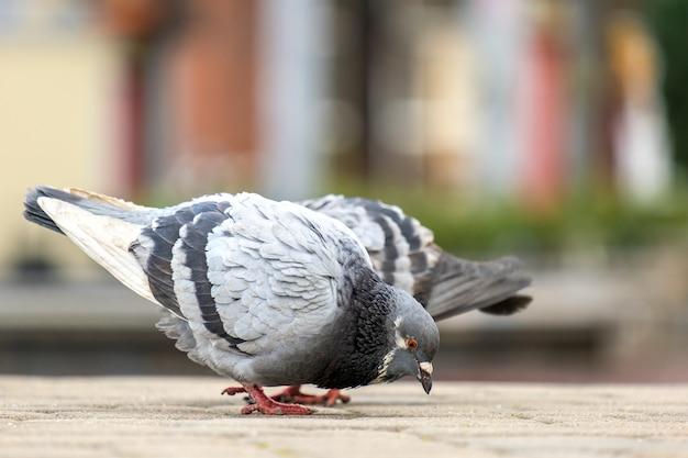 Zbliżenie szare gołębie ptaki chodzą na ulicy miasta w poszukiwaniu żywności.