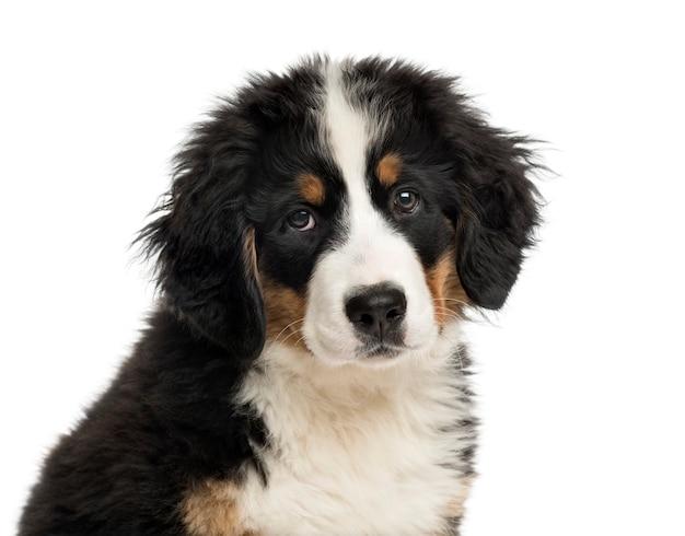 Zbliżenie: szczeniak berneński pies pasterski przed białą ścianą
