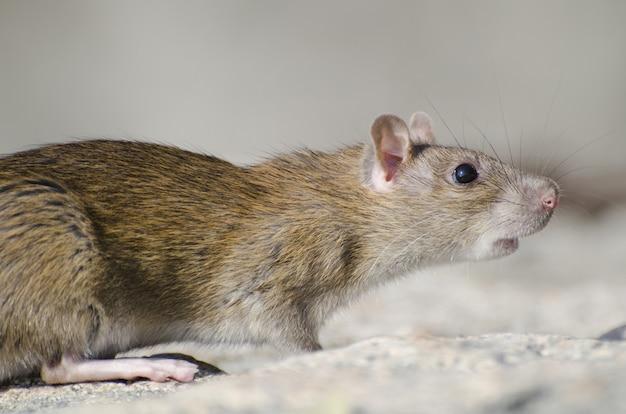 Zbliżenie szczurów bagiennych ryżu w słońcu z rozmytym tłem