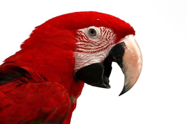 Zbliżenie szkarłatnej ary z boku szkarłatna ara zbliżenie głowy