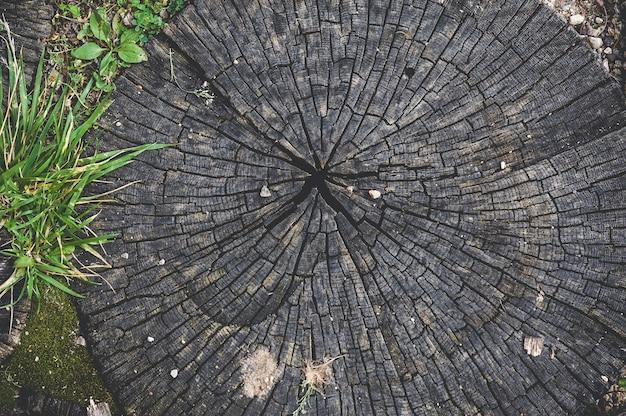 Zbliżenie, tekstura okrągłe słoje kikuta drewna.