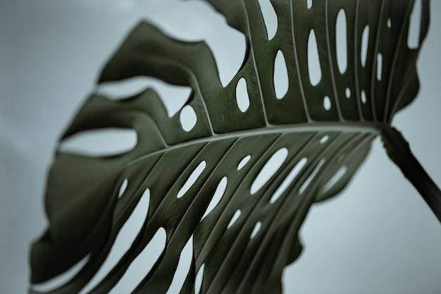 Zbliżenie: teksturowane piękne naturalne liście monstera.