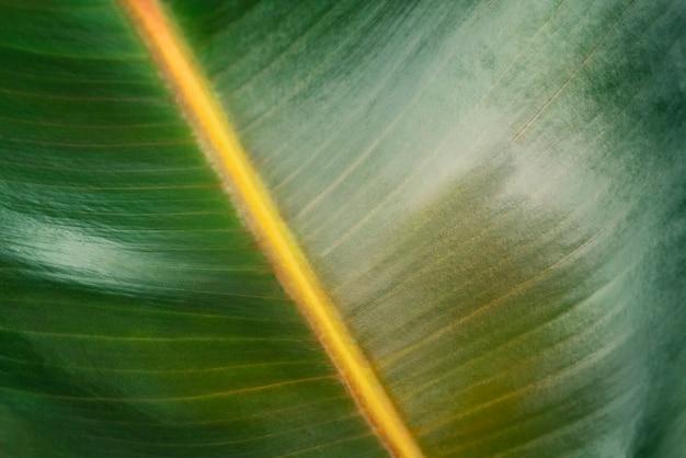 Zbliżenie tła liścia gumowej rośliny