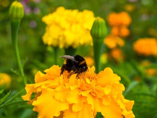 Zbliżenie trzmiela siedzącego na kwiatku