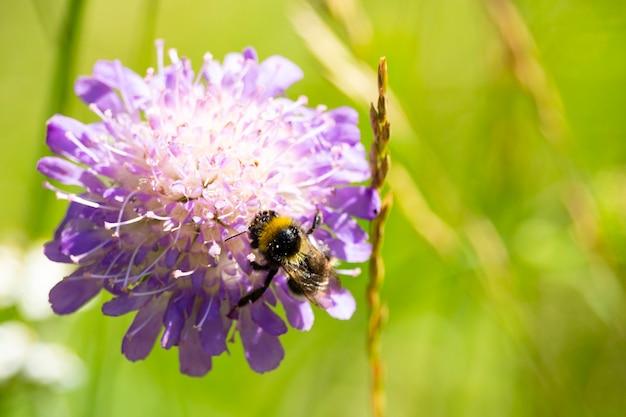Zbliżenie trzmiela zbierającego pyłek z polnego kwiatu świerzbu z miejscem na tekst