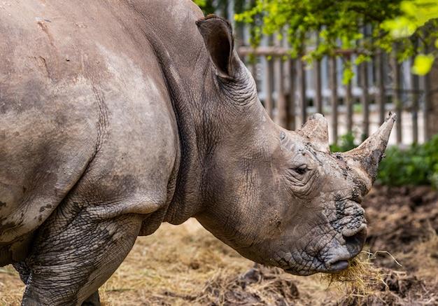 Zbliżenie twarze młoda nosorożec