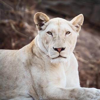 Zbliżenie twarzy białego lwa w zoo