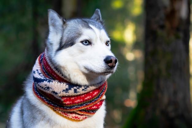 Zbliżenie twarzy husky z niebieskimi oczami w szaliku. kanadyjski, północny pies.