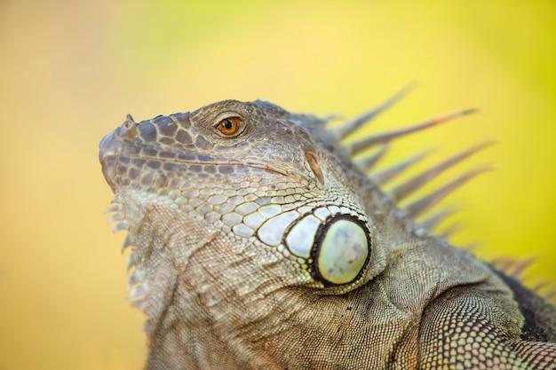 Zbliżenie twarzy iguany