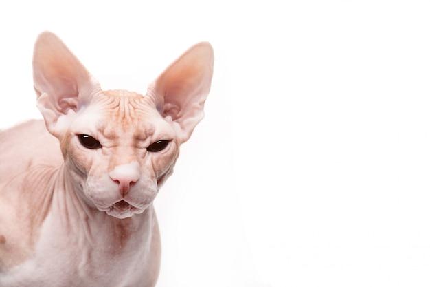 Zbliżenie twarzy kota sfinks na białym tle