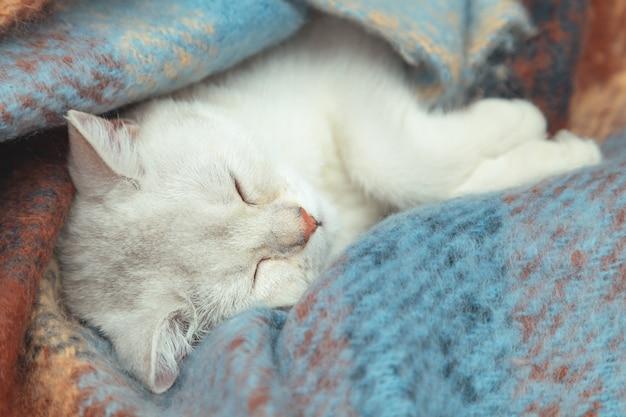 Zbliżenie twarzy ładny kot brytyjski szynszyli. kotek śpi owinięty kocem w ciepłym kolorze. zimowy chłód.