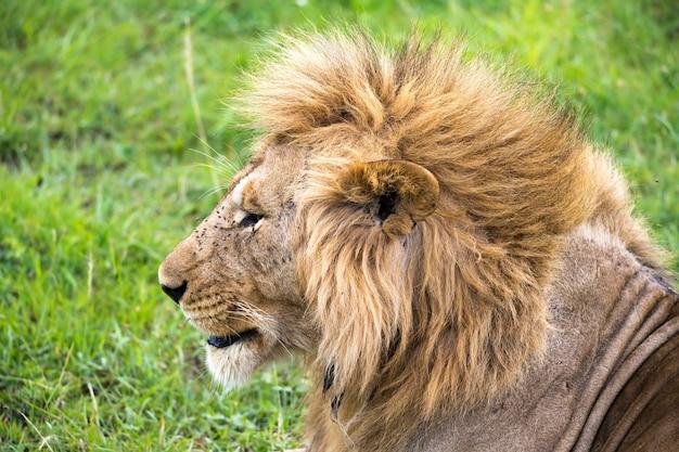 Zbliżenie twarzy lwa na sawannie kenii