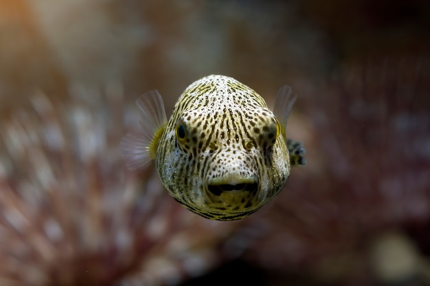 Zbliżenie twarzy rozdymkowate ryby widok z przodu urocza twarz rozdymkowatych ryb
