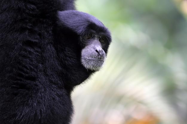 Zbliżenie Twarzy Siamang Zwierząt Zbliżenie Darmowe Zdjęcia