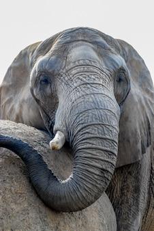 Zbliżenie twarzy starego słonia