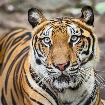 Zbliżenie twarzy tygrysa. (panthera tigris corbetti) w naturalnym środowisku, dzikie, niebezpieczne zwierzę w naturalnym środowisku w tajlandii.