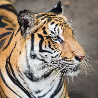Zbliżenie twarzy tygrysa.