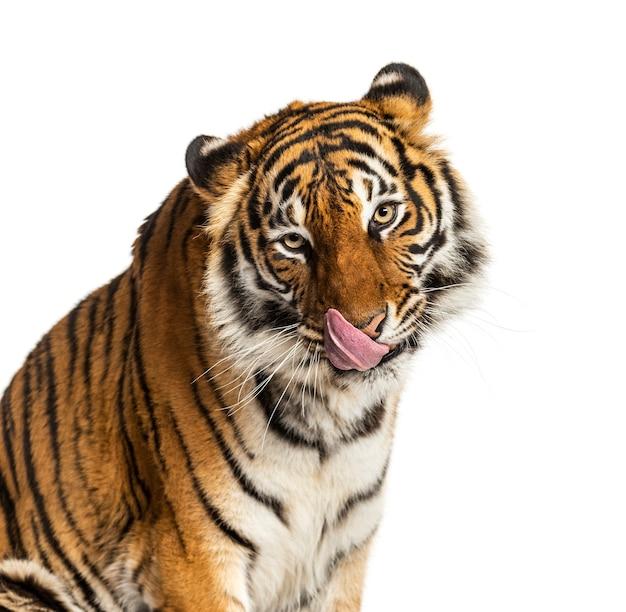 Zbliżenie tygrysa lizanie się i szukanie głodnego