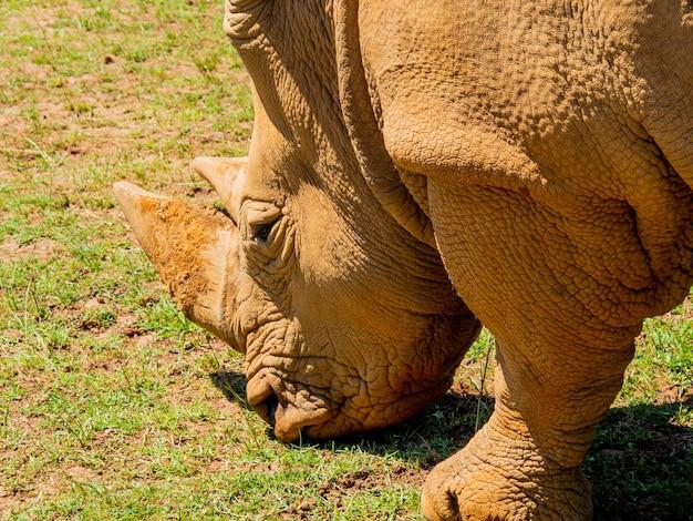 Zbliżenie ujęcie brązowego nosorożca karmiącego się trawą